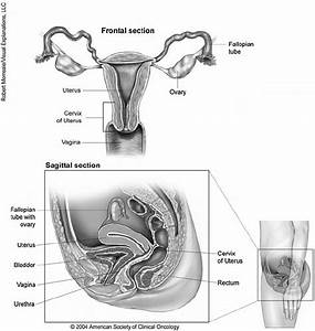 Location And Anatomy Of The Uterus  A Smooth Muscle Organ