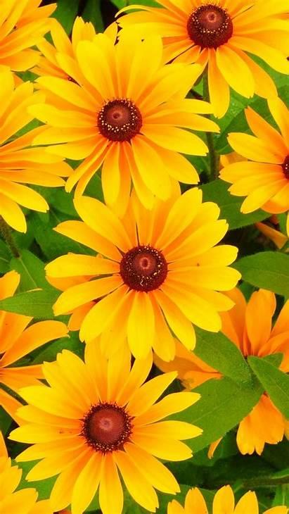 Yellow Flowers Bright Iphone Rudbeckia Cool Dark