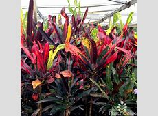 Croton 'Mammy' Australian Plants Online