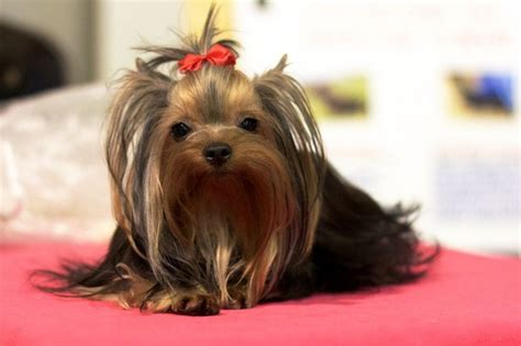 Taking Care Of Newborn Yorkshire Terrier Pups