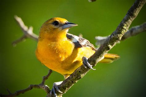 feather tailed stories baltimore oriole