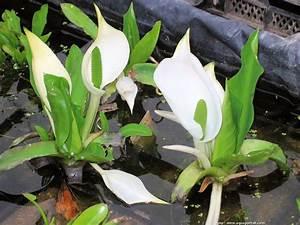 Distributeur D Eau Pour Plante : nouvelles plantes aquatiques pour aquarium et aquascaping page 11 flore aquatique plantes ~ Dode.kayakingforconservation.com Idées de Décoration
