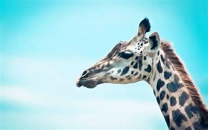 Giraffe Wallpapers Desktop Background Giraffes 1200 Backgrounds