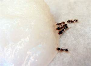 Non Gage Ants : ants get rid of them their nest fast the non toxic way ~ Medecine-chirurgie-esthetiques.com Avis de Voitures