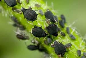 Läuse An Pflanzen : schwarze l use auf blumen so werden sie die blattl use ~ One.caynefoto.club Haus und Dekorationen
