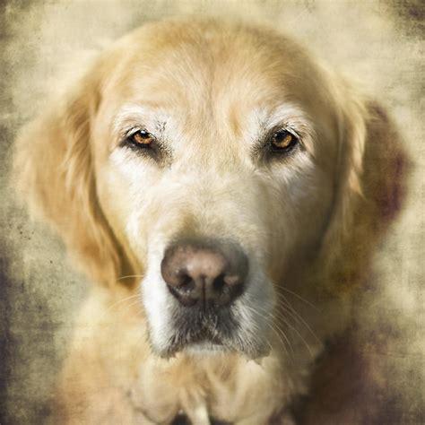 Golden Retriever Portrait Photograph By Wolf Shadow