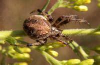 Barn Spider Bite by Orb Weaver Spiders Family Araneidae American