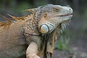 Green Iguana. | Animals | Pinterest | Iguanas, Green ...