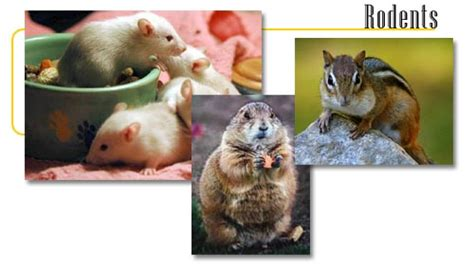 rodents info   games