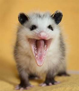 260 best images about Opossums on Pinterest | Virginia ...