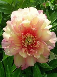 Itoh Peony 'Julia Rose' – Spring Backyard Flower Garden
