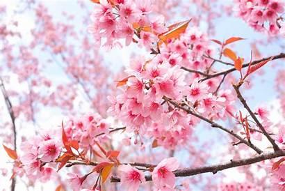 Blossom 4k Sakura Cherry Tree Wallpapers Flowers