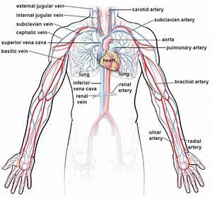 Blood Flow Through Upper Body