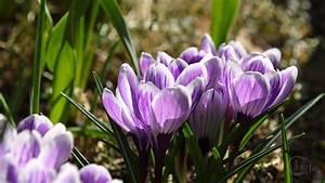 Blumen Im Frühling : deutschland bickenbach blumen und bl ten krokusbl ten in violett weiss im fr hling ~ Orissabook.com Haus und Dekorationen