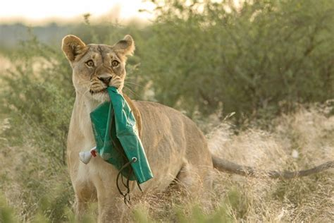 A Lioness Steals An Outdoor Shower From Travellers In The