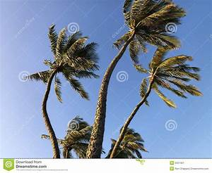 Palm Trees Blowing In Wind. Stock Image - Image: 5537401