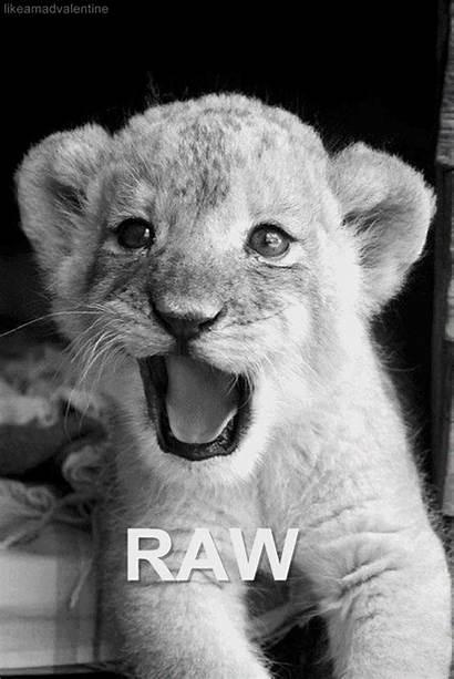 Lion Gifs Animals Picgifs