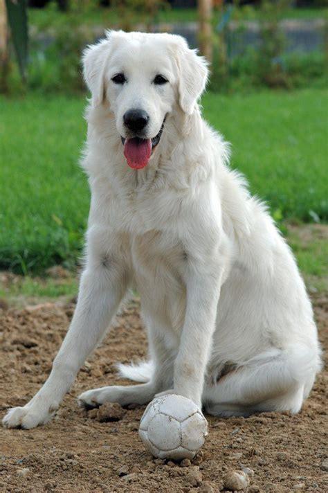 dog breeds designer dogs id