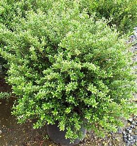 Japanese Holly Bushes Types - Bing images
