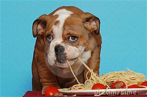 English Bulldog Puppy Eating Spaghetti Royalty Free Stock