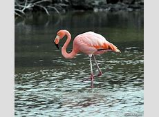 Natinal Bird Of Bahamas American Flamingo 123Countriescom