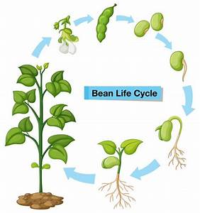 Diagram Showing Bean Life Cycle Vector