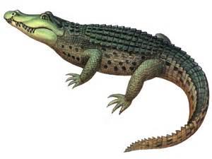Alligator Life Cycle Diagram