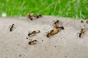 Ameisen Bekaempfen Die Besten Hausmittel by Wei 223 E Fliege Bek 228 Mpfen Die Besten Hausmittel