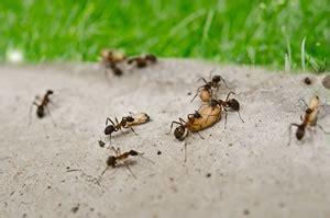 Fliegende Ameisen In Haus Und Garten Bekämpfen