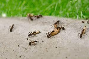 Ungeziefer In Der Wohnung Arten : ameisen bek mpfen tipps gegen ameisen im haus garten ~ Lizthompson.info Haus und Dekorationen