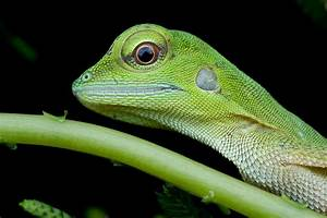 Cute baby green crested lizard | Photography Forum