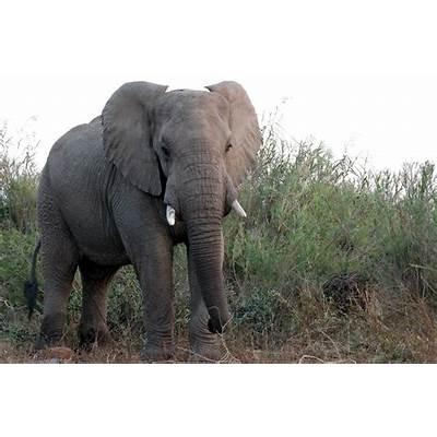 Christian Ryan: The Elephant's Call for Love