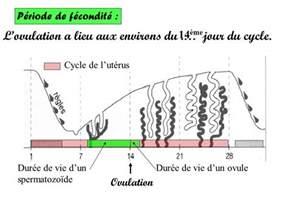 Spermatozoide Duree De Vie by Anatomie Et Fonctionnement Des Organes G 233 Nitaux De L Homme