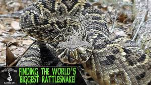 Finding The Biggest Rattlesnake In The World   Eastern