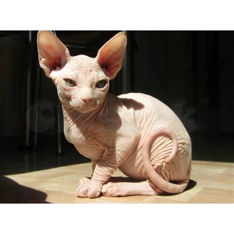 Purebreed Sphynx Kittens For Adoption  Claseek™ Philippines