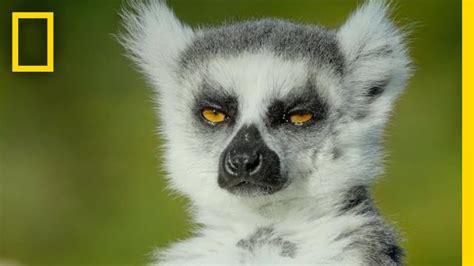 adorable lemurs roam    ancient island short