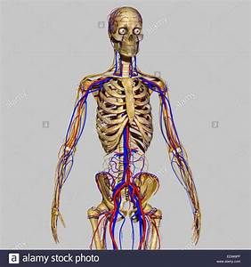 Skeleton With Nervous System Stock Photo  77386135