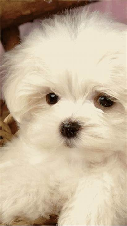 Maltese Puppy Pets Gstatic Cau Encrypted Usqp