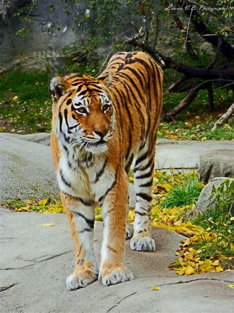 Beautiful Bengal Tiger Deadnotsleeping Deviantart