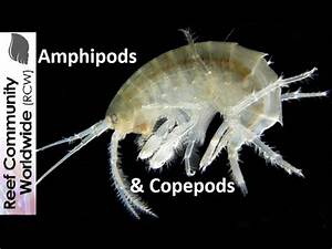 Amphipods and Copepods at night in reef tank - YouTube