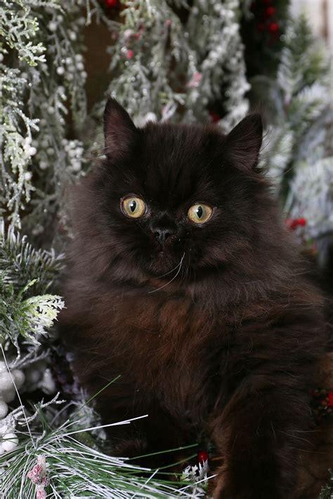 Black Persian Kittensultra Rare Persian Kittens For Sale
