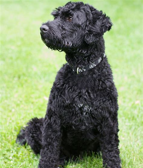 78 ideas about portuguese water dog on pinterest golden