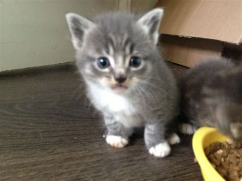 names for grey cats pics photos persian cat names for sale grey pictures parsin name litle pups