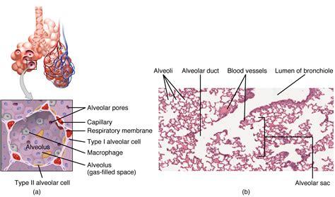 Histologie Von Trachea Und Lunge