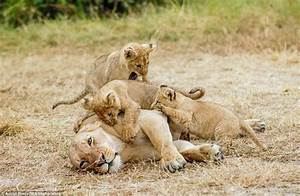 Lion Cubs With Mother | www.pixshark.com - Images ...
