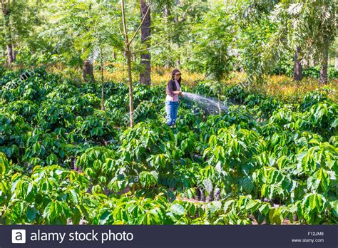 Buy the best coffee from antigua guatemala. Coffee plantation in Antigua Guatemala. Coffee is an important Stock Photo: 86725080 - Alamy