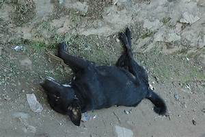 Recently dead dog, black, in good condition, road ...