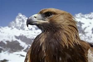 Beautiful eagle bird pure HD image HD Wallpapers Rocks