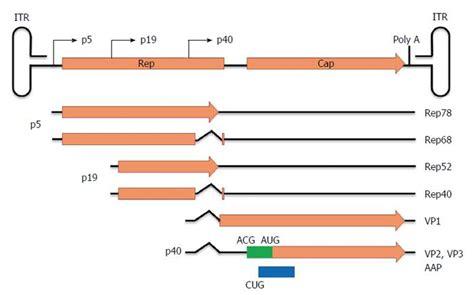 adeno  virus vectors  human gene therapy