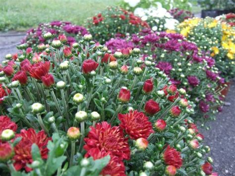 when to plant mums when to plant garden mums hgtv